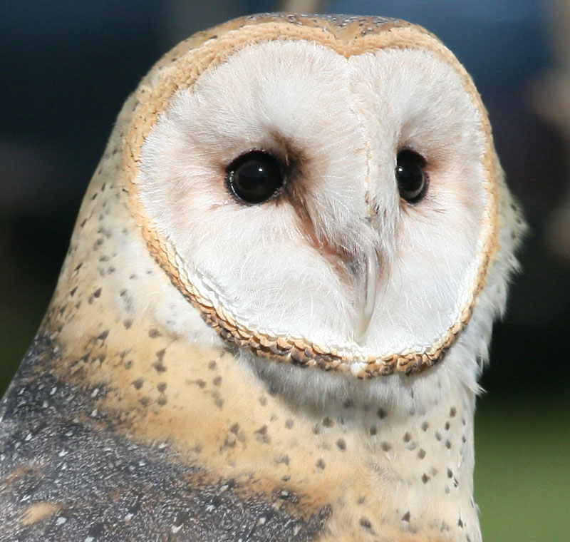 Barn owls facial disk